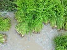 Jeune plante de riz Images libres de droits
