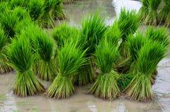 Jeune plante de riz Photographie stock