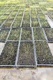Jeune plante de riz Images stock