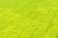 Jeune plante de riz Photographie stock libre de droits