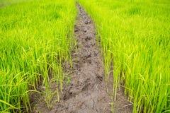 Jeune plante de riz Photos libres de droits