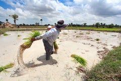 Jeune plante de riz de jet d'agriculteur Images stock