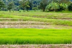 Jeune plante de riz non-décortiqué dans l'élevage de gisement de riz Jeune arbre de rizière Images libres de droits
