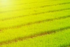 Jeune plante de riz non-décortiqué dans l'élevage de gisement de riz Jeune arbre de rizière Images stock
