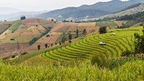 Jeune plante de riz sur des gisements de riz de terrasse Photographie stock libre de droits