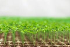 Jeune plante de serre chaude Plan rapproché de l'élevage vert de jeune plante Image stock