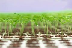 Jeune plante de serre chaude Plan rapproché de l'élevage vert de jeune plante Photo stock
