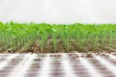 Jeune plante de serre chaude Plan rapproché de l'élevage vert de jeune plante Images libres de droits