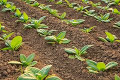 plante de tabac verte image stock image du cigare croissance 61246815. Black Bedroom Furniture Sets. Home Design Ideas