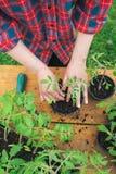 Jeune plante de tomate Image libre de droits