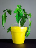 Jeune plante de tomate Photographie stock