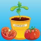 Jeune plante de tomate dans la tasse Images libres de droits