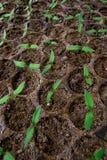 Jeune plante de tomate dans le plateau en plastique. Photos libres de droits
