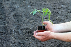 Jeune plante de tomate dans le récipient brun dans des paumes des mains Copiez l'espace Photos libres de droits