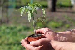 Jeune plante de tomate dans le récipient brun dans des paumes des mains Fin vers le haut Photos libres de droits