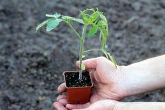 Jeune plante de tomate dans le récipient brun dans des paumes des mains Vue supérieure Photographie stock