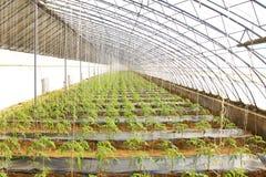 Jeune plante de tomate dans une maison verte à une ferme Photos libres de droits