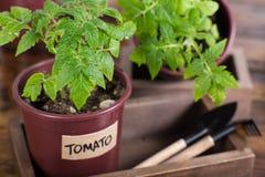 Jeune plante de tomate et outils de jardin sur la boîte en bois Photographie stock