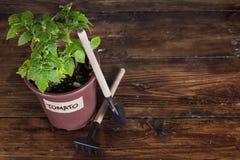 Jeune plante de tomate et outils de jardin sur le fond foncé Image libre de droits