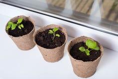 Jeune plante des aubergines dans des pots de tourbe sur le rebord de fenêtre Images stock
