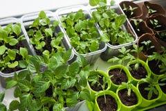 Jeune plante des légumes Photographie stock libre de droits