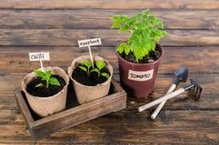 Jeune plante des légumes et des outils de jardin sur la table rustique en bois Photographie stock