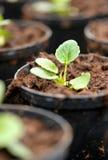 Jeune plante nouvellement transplantée dans une crèche Photo libre de droits