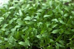 Jeune plante, petit élevage de jeunes plantes de poivre Images libres de droits