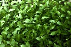 Jeune plante, petit élevage de jeunes plantes de poivre Image stock