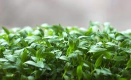 Jeune plante, petit élevage de jeunes plantes de poivre Photographie stock libre de droits