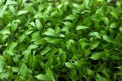 Jeune plante, petit élevage de jeunes plantes de poivre Photographie stock