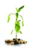 Jeune plante verte d'isolement Image libre de droits