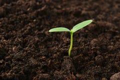 Jeune plante verte de concombre Photographie stock libre de droits