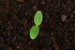 Jeune plante verte de concombre Photos libres de droits