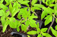 Jeune plante verte de tomate Photos stock