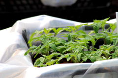 Jeune plante verte de tomate Photographie stock libre de droits