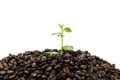 Jeune plante verte en grains de café d'isolement sur le fond blanc Photo stock