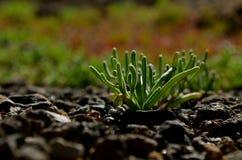 Jeune plante xérophytique Photos libres de droits