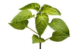 Jeune poivre de buisson Images stock