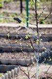 Jeune pommier protecteur de la maladie fongique ou vermine avec p photographie stock