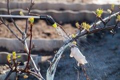 Jeune pommier protecteur de la maladie fongique ou vermine par pré images stock