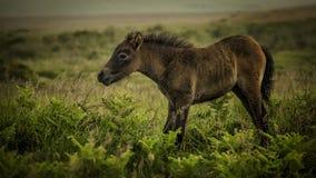 Jeune poney Image libre de droits