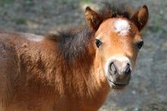 Jeune poney Photos stock