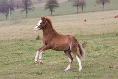 Jeune poney fonctionnant sur le pâturage Photos stock