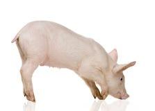 Jeune porc (+-1 mois) Photographie stock