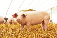 Jeune porcelet à la ferme d'élevage de porc Photo stock