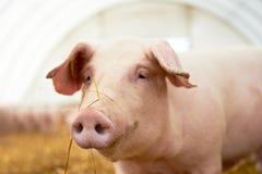 Jeune porcelet sur le foin à la ferme de porc Images libres de droits