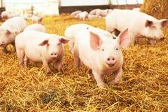 Jeune porcelet sur le foin à la ferme de porc Photographie stock