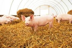 Jeune porcelet sur le foin à la ferme de porc Photos libres de droits