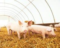 Jeune porcelet sur le foin à la ferme de porc Photo stock